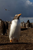 Gentoo Penguin in the evening light Royalty Free Stock Photo