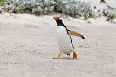 Gentoo penguin, Falkland Islands Royalty Free Stock Photo
