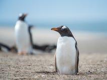 Gentoo penguin. Stock Image