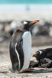 Gentoo penguin. Royalty Free Stock Photography