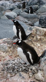 Gentoo Penguin Family Stock Photos