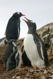 Gentoo Penguin family, Antarctica. Gentoo Penguin family. Parents protecting 3 young in the nest with other penguins looking on, Antarctica royalty free stock photos