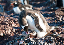 Gentoo penguin family on the beach. Penguin mother take care of her baby stock photo