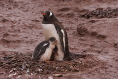 Gentoo penguin family Stock Images