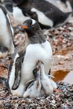 Gentoo Penguin family in muddy rookery, parent and two young chicks on a rock nest, Gonzales Videla Station, Paradise Bay, Antarct. Ica stock photography