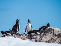 Gentoo penguin family Royalty Free Stock Image