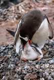 Gentoo Penguin family on a rock nest in a rookery, parent feeding young chick, Gonzales Videla Station, Paradise Bay, Antarctica stock photo
