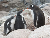 Gentoo penguin family in the rocks. Stock Image