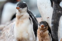 Gentoo Penguin family in a rookery, parent and two chicks, one chick with snow on it's head, Gonzales Videla Station, Paradise B. Ay, Antarctican royalty free stock images