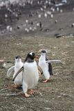 Gentoo penguin family, two large chicks chasing parent for food, colony in background, Aitcho Islands, South Shetland Islands, Ant. Arctica royalty free stock photos