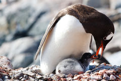 Gentoo Penguin Feeding. A Gentoo Penguin mother is feeding regurgitated meal to her newborn chick at a penguin colony at Gonzalez Videla Antarctic Base, Paradise stock photo
