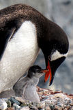 Gentoo Penguin feeding chick Royalty Free Stock Image