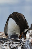 Gentoo Penguin feeding a chick Stock Images