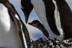 Gentoo Penguin feeding its chick Stock Photos