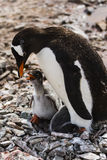 Gentoo Penguin feeding its chick Royalty Free Stock Photography