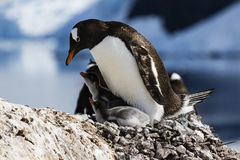 Gentoo Penguin feeding its chicks Stock Photos