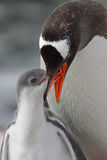 Gentoo penguin feeding young, Antarctica Royalty Free Stock Image