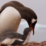 Gentoo Penguin Feeding the Young in Antarctica Royalty Free Stock Photography