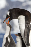 Gentoo penguin female that feeds the chick in the nest on a sunn Stock Photo