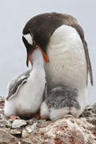 Gentoo penguin female that feeds one of the chicks Royalty Free Stock Image
