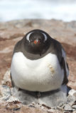 Gentoo penguin female a heating two chicks Stock Photos
