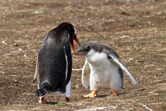 Gentoo penguin female and her chick Stock Photos