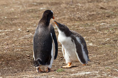 Gentoo penguin female and her chick Royalty Free Stock Photos