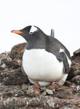 Gentoo penguin female incubates the eggs. Royalty Free Stock Photo
