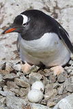 Gentoo penguin female near the nest in which two eggs Royalty Free Stock Photos