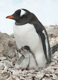 Gentoo penguin female sitting on the nest. Royalty Free Stock Image