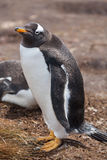 Gentoo penguin stays Royalty Free Stock Images