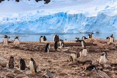 Gentoo penguin flock on the rocks and blue glacier in the backgr Stock Image