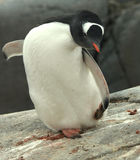 Gentoo penguin footsies Royalty Free Stock Images