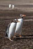 Gentoo penguin friends Stock Image