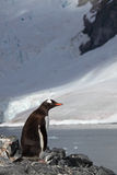 Gentoo penguin in front of glacier, Antarctica Stock Photos