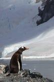 Gentoo penguin in front of glacier, Antarctica Stock Photos