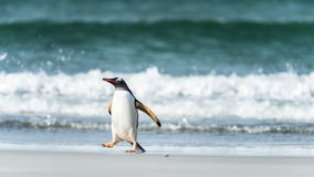 Gentoo penguin in front of the wave. Royalty Free Stock Photos