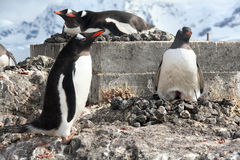 Gentoo penguin, greeting its mate Stock Image