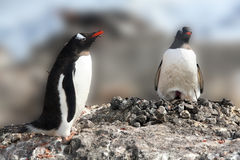 Gentoo penguin, greeting its mate Royalty Free Stock Photo