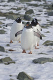 Gentoo penguin group coming from the colonies Stock Photos