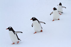 Gentoo penguin group walking in the snow Antarctic Royalty Free Stock Images