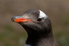 Gentoo penguin head closeup Stock Images
