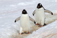 Gentoo penguin highway, Antarctica Royalty Free Stock Photos