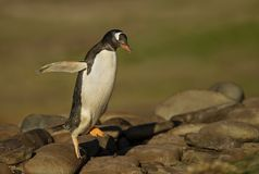 Gentoo penguin hopping on the rocks. In Falkland islands Stock Photos