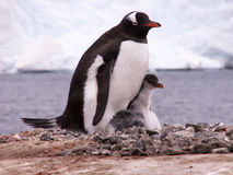 Gentoo penguin with its chick. A gentoo penguin in Antarctica, in the nest with chicks royalty free stock photos