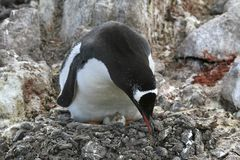 Gentoo penguin on its nest Stock Image