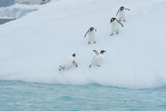 Gentoo Penguin  jump from the ice Royalty Free Stock Photos