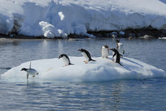 Gentoo Penguin  jump from the ice Stock Photography