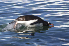 Gentoo penguin jump over the ocean 1 Stock Photo
