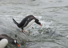 Gentoo penguin before jumping Stock Images